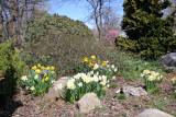 Daffodils - Rock Garden