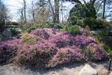 Spring Heath Heather - Rock Garden