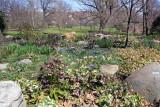 Lenten Rose or Heleborus - Rock Garden