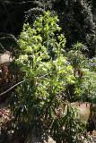Jacob's Ladder - Rock Garden