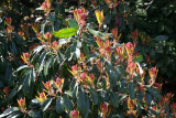 Photinia Budding Blossoms