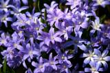 Chionodoxia or Starflower