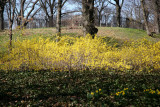 Grounds View - Forsythia