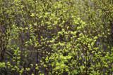 Spirea Foliage Buds