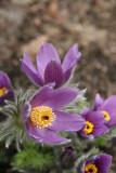 Pulsatilla vulgaris - Ranunculus