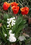 Tulips & Hyacinths