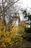 Washington Square Arch & Forsythia