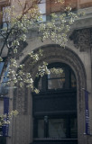 Pear Tree Blossoms & NYU Building Reflected in Starbuck's Window