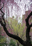 Cherry Tree Blossoms & a Willow Tree