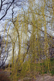Willow Tree - Harlem Meer