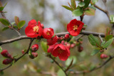 Quince Bush Blossoms - Harlem Meer