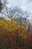 Forsythia & Quince Bush Blossoms - Harlem Meer