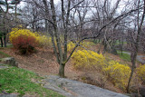 Forsythia & Quince Bushes near Harlem Meer from Fort Fish