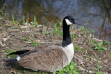 Canadian Goose on the Harlem Meer Shore
