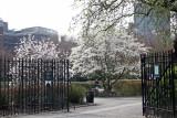 Harlem Meer Gate & Magnolia Trees - Conservatory Gardens