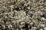 Spirea Blossoms - Conservatory Gardens