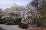 Magnolia Trees - Conservatory Gardens
