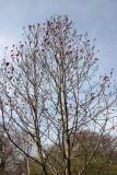 Magnolia Tree - Conservatory Gardens