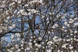Robin in Magnolia Tree Blossoms - Conservatory Gardens