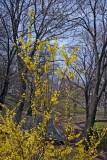 Forsythia & Park View from 5th Avenue at 103rd Street