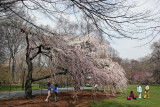 Cherry Trees near the Great Lawn