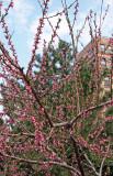 Peach Tree Blossoms & Pine Tree