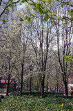 Garden View - Pear Tree Blossoms