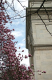 Magnolias at the Arch