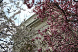 Magnolia & Cherry Tree Blossoms at the Arch