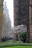 Magnolia Blossoms - Presbyterian Churchyard Gardens