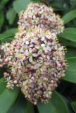 Skimmia Blossoms