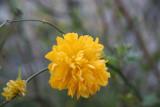 Kerria Bush Blossom