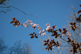 Prunus Tree Blossoms