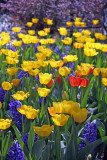 Yellow Tulips & Blue Hyacinths