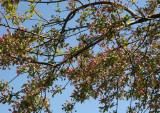 Apple Tree Blossom Buds