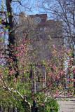 Prunus Blossoms - Cooper Union Park