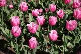 Tulips - Robert Wagner Jr Park
