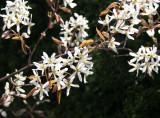 Olive Tree Blossoms - Jewish Holocaust Museum Garden