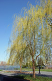 Willow Tree Blossoms - Jewish Holocaust Museum Garden Area
