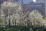 Park View - Pear Trees in Bloom