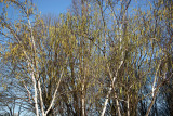 Birches at Rector Place