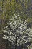 Rector Place Garden - Cherry Tree in Bloom