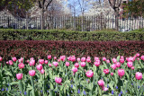Tulips at Rector Place Garden