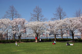 Financial Center Gardens - Cherry Tree Blossoms