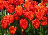 Financial Center Gardens - Tulips