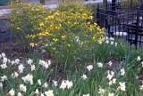 Kerria & Daffodils - Nelson A Rockefeller Park