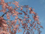 Cherry Tree Blossoms