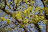 Norway Maple New Foliage
