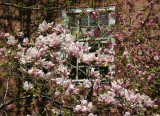 Magnolia Tree Blossoms - NYU Law School