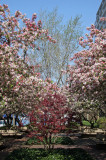 Crab Apple Tree Blossoms & Red Maple Tree